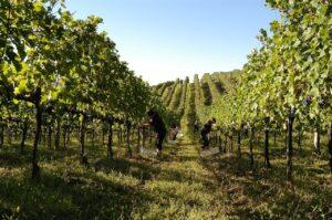 produção de vinho no Brasil